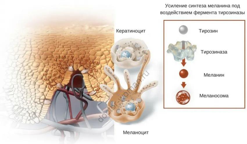 Образование меланина и пигментации кожных покровов